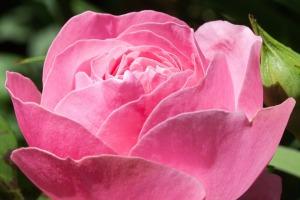 rose-364918_960_720